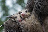 Wet Opossum Joeys (didelphimorphia) Huddle Together - Captive Animals poster
