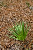 foto of saw-palmetto  - Saw palmetto sapling fronds among pine needles - JPG