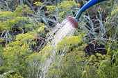 Watering The Garden, Water That Flows From The Watering Can And Water The Young Dill poster