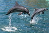 stock photo of bottlenose dolphin  - Bottlenose dolphins leaping out of the water