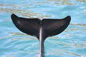 Dolphin Tail Flukes