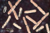 Bacteria Bifidobacterium, Gram-positive Anaerobic Rod-shaped Bacteria Which Are Part Of Normal Flora poster