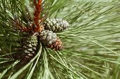 Macro Closeup Of Green Pine Tree Branches With Long Needles And Pine-cones In Forest Wood. Toned Wit poster