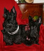 stock photo of scottie dog  - 2 black scotty dogs on red - JPG