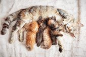Grey Mother Cat Nursing Her Babies Kittens, Close Up poster