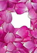 foto of rosepetals  - beautiful pink rose petals with white card for your message - JPG