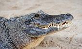 Closeup de jacaré na areia no Gator Park em Miami.