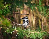 Pied Kingfisher in liwonde national park malawi