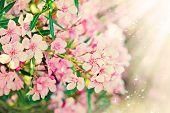 Pink Flower's Branch - Oleander Nerium
