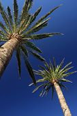 Tall palmtrees