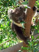 Baby Koala Eating