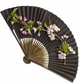 Fresh Flower Sakura in a Black Vintage Japanese  Paper Fan Isolated on white background