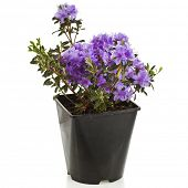Blooming Rhododendron (Azalea)  in black plastic pot on a white background