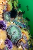 A scuba diver hoovers near a colorful reef covered with sea anemones and sea urchins.  The water is