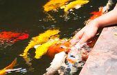 Colorful Koi Or Carps Play With Kids Hand
