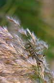 picture of pampa  - Close up of a grasshopper feeding on pampas grass - JPG