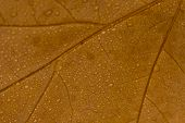 Macro Brown Leaf With Drops