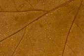 Macro Brown Leaf With Drops