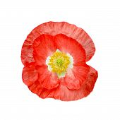 Poppy Red With Yellow Stamens