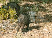 Wild Pig Javelina Hogs Foraging