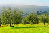 pic of apennines  - Olive Grove on the Slopes of the Apennine Mountains Italy