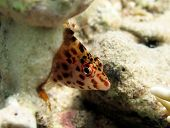 stock photo of hawkfish  - A shy pixie hawkfish hides behind a rock - JPG
