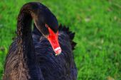 Australian Black Swan, Cygnus Atratus