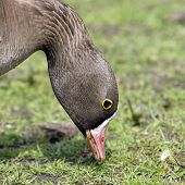 A close-up of a Lesser White-fronted Goose (Anser erythropus) feeding.