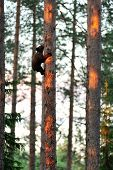 Brown Bear Cub On Tree