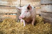foto of pig-breeding  - Pig on hay and straw at pig breeding farm - JPG