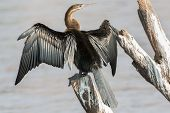 image of sun perch  - Rear view of African Darter  - JPG