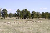 Antelope In Northern Colorado