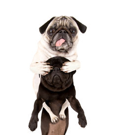 image of prank  - a pug covering another pug - JPG