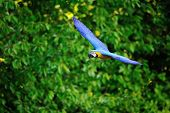 Flying Blue-and-yellow Macaw - Ara Ararauna