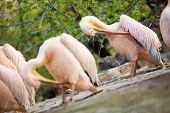 white pelican (Pelecanus onocrotalus) cleaning  feathers  with beaks