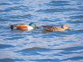 Couple of Shoveler on the blue lake