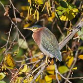 Green Heron On Branch