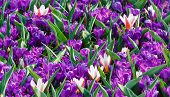 Spring Purple Crocuses And White Tulips (macro)