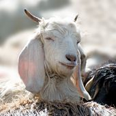 picture of cashmere goat  - White kashmir (pashmina) goat from Indian highland farm in Ladakh