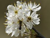 Wood Ant On Blackthorn Flower