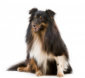 picture of sheltie  - Sheltie dog breed on a white background - JPG