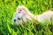 Shih tzu dog walking on grass.