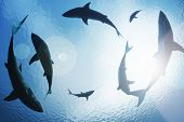 picture of great white shark  - School of sharks circling from above the ocean depths - JPG