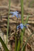 stock photo of meadowsweet  - little blue flower  - JPG