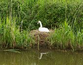 Mother swan on nest by reeds on a river bank only days from giving birth to cygnets
