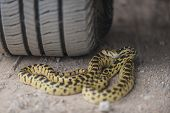 Gopher Snake Under The Wheel Of A Car
