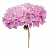 Pink Hydrangea Flowers Isolated On White Background