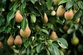 Pears Growing On Pear Tree