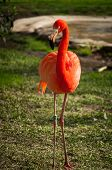 picture of flamingo  - The Flamingos or Flamingoes in Lisbon Zoo  - JPG