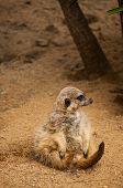 The Meerkat Or Suricate In Lisbon Zoo